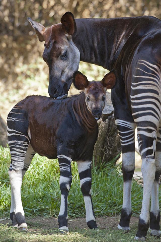 Okapi San Diego Zoo