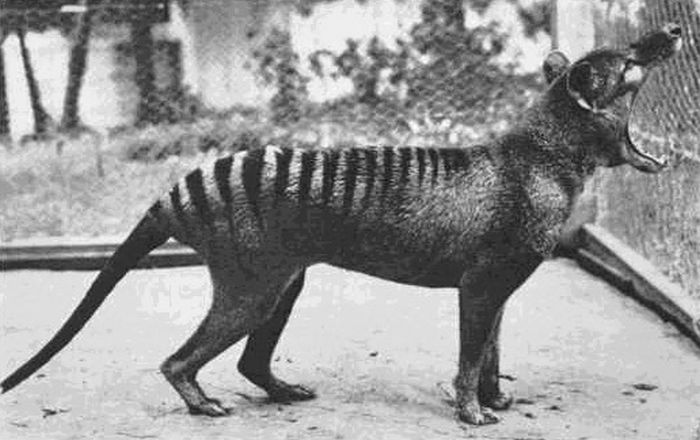 The last known Tasmanian Tiger 1933