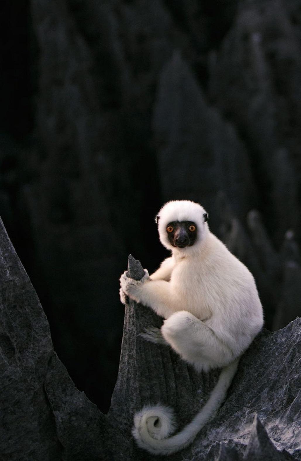 белый лемур из каменного леса мадагаскар