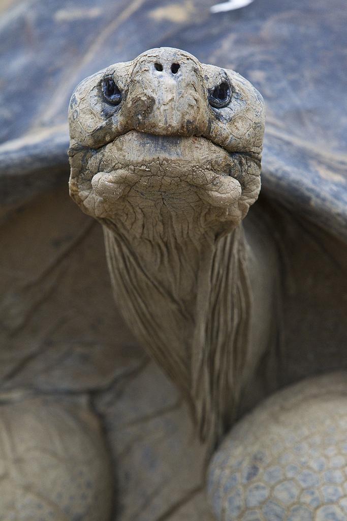 великая древняя черепаха