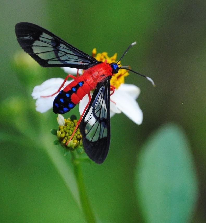 мухообразная-бабочка