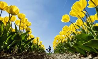 Велосипеды и тюльпаны Голландии.