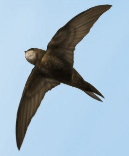Common Swift in digital airbrush