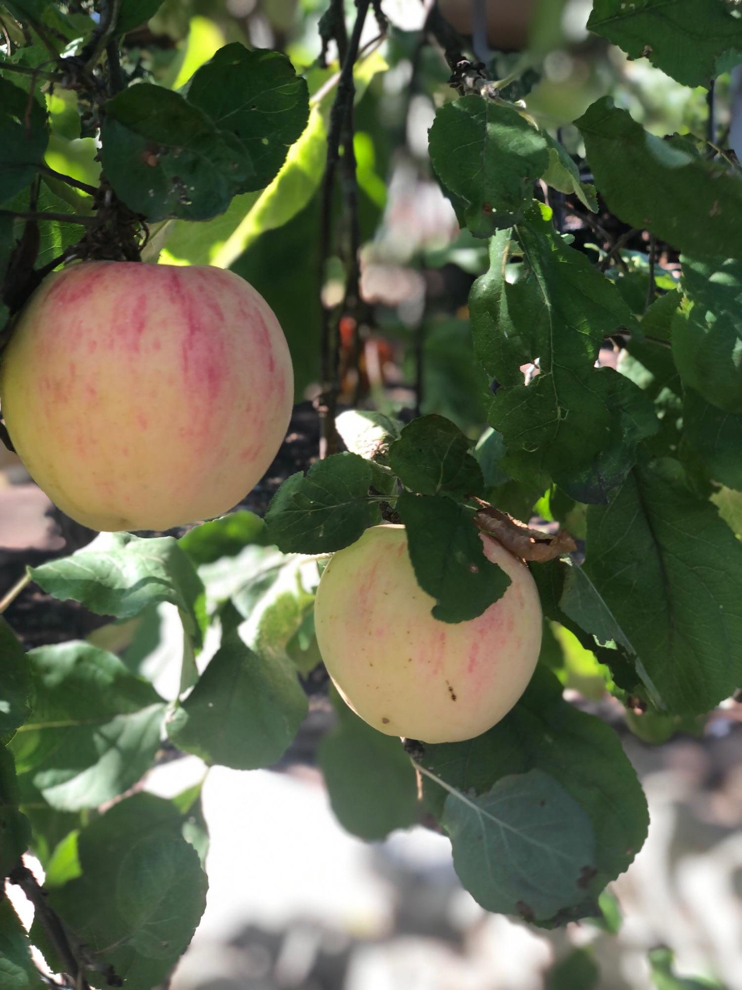 Это весь нынешний урожай яблок