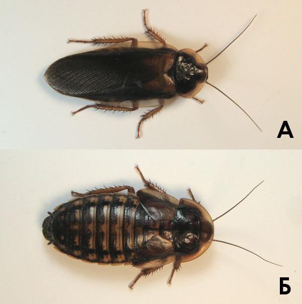 Аргентинский таракан Blaptica dubia