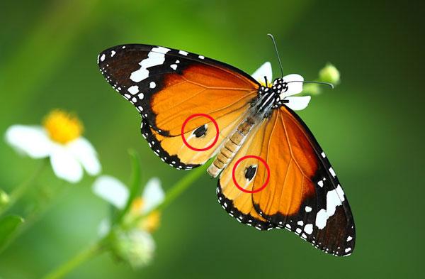 Андроконии на крыльях самца данаиды хризиппа