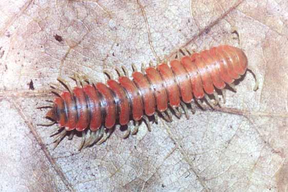 millipede1