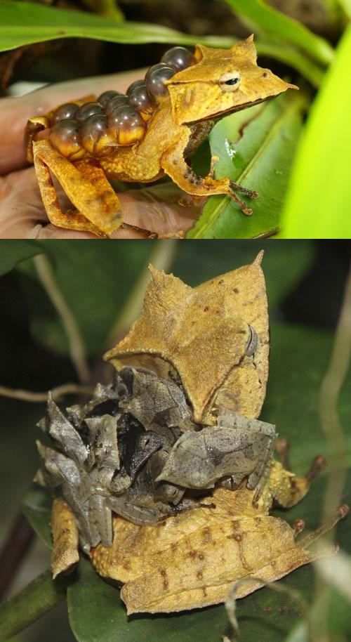 Hemiphractus-fasciatus