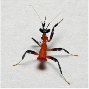 HymenopusCoronatus2ndInsterNymph