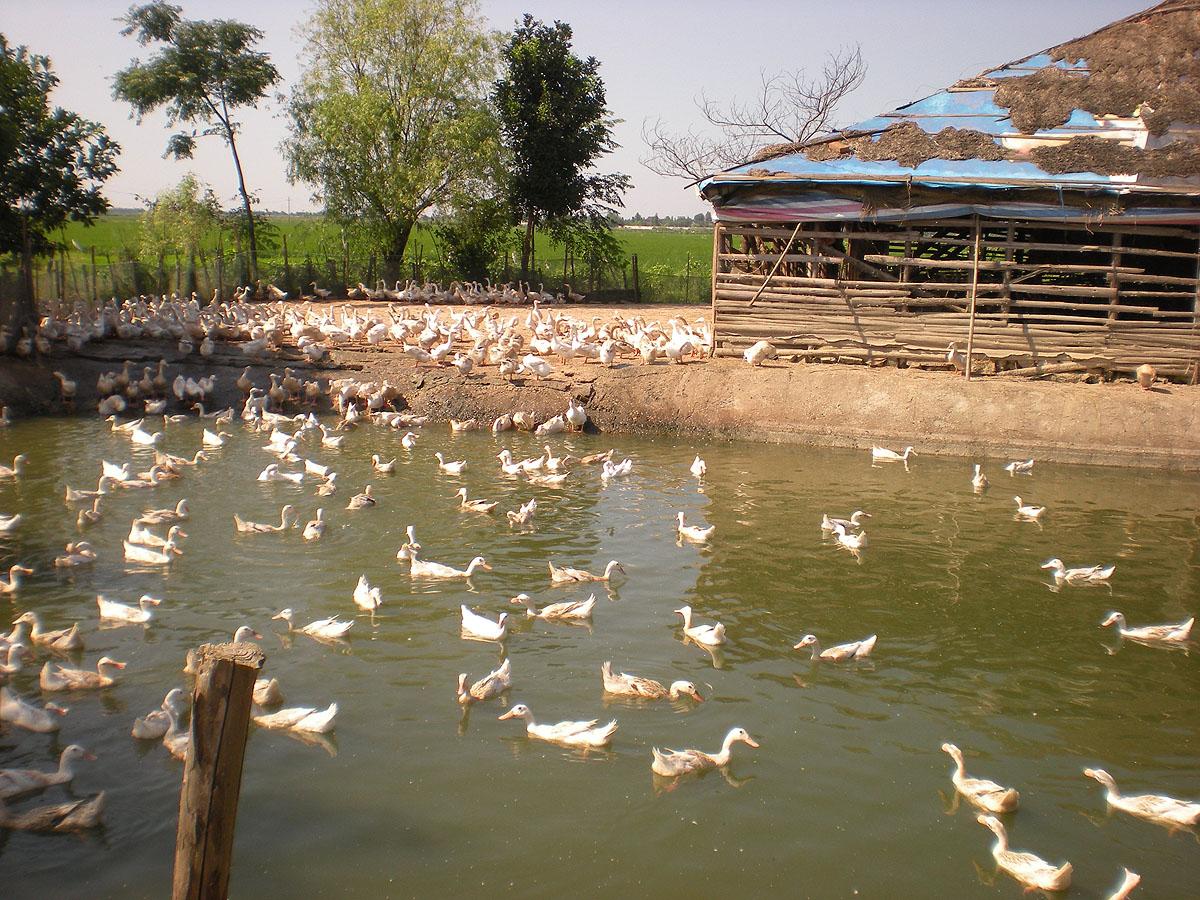 Инвестиции в крестьянское хозяйство. Пирамида от Сергия Стерлигова, сына Германа web-Beijing-2011-551-Poyang-lake-duck-farm