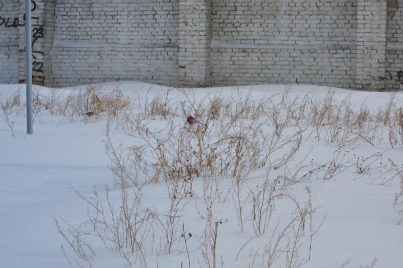 снегири 01.jpg