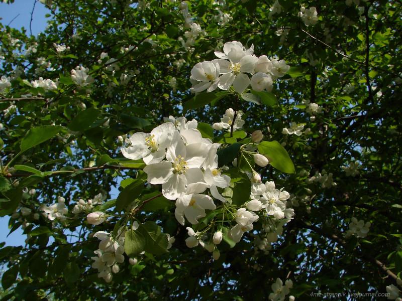 яблони цвет.jpg