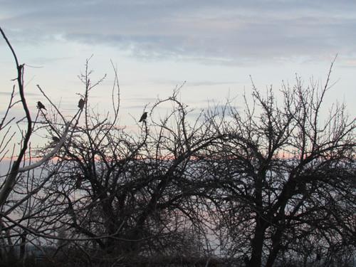 вороны на груше