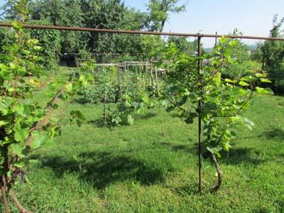 виноград Изображение 316