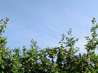 яблоки Изображение 026