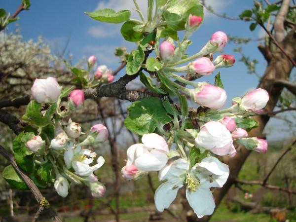 яблоня Жигулевская