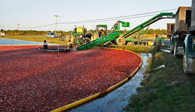 Harvesting Cranberries in New Jersey © Yuri Lev
