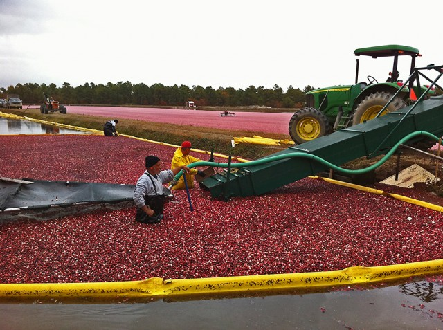 Cranberry Harvesting  ©Yuri Lev