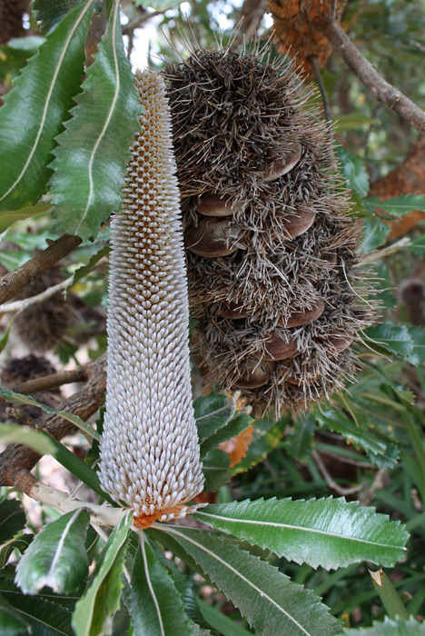 banksia5