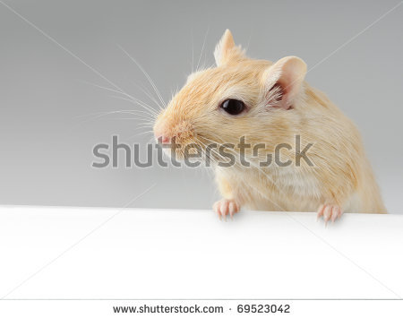 stock-photo-cute-little-gerbil-standing-above-white-banner-69523042
