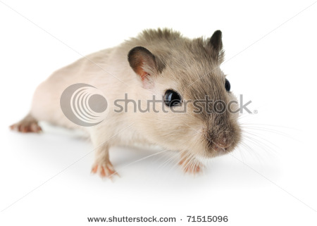 stock-photo-curious-little-mouse-isolated-on-white-71515096