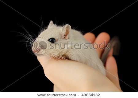 stock-photo-cute-pet-mouse-in-human-hand-isolated-on-black-49654132