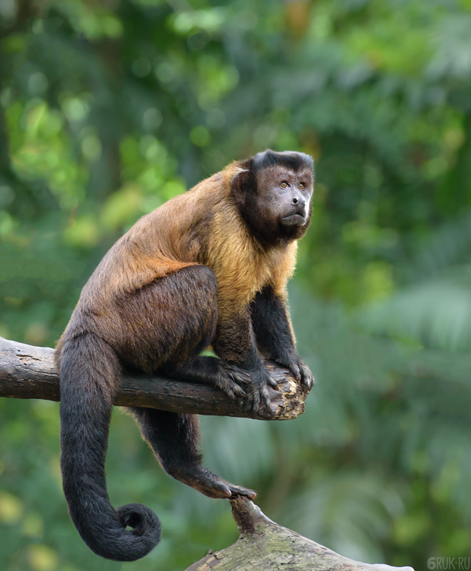 DSC_1260brown-capuchin