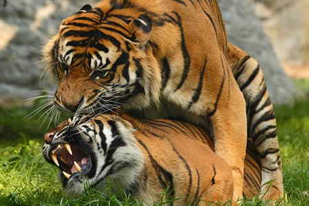 tigers-mating (1)