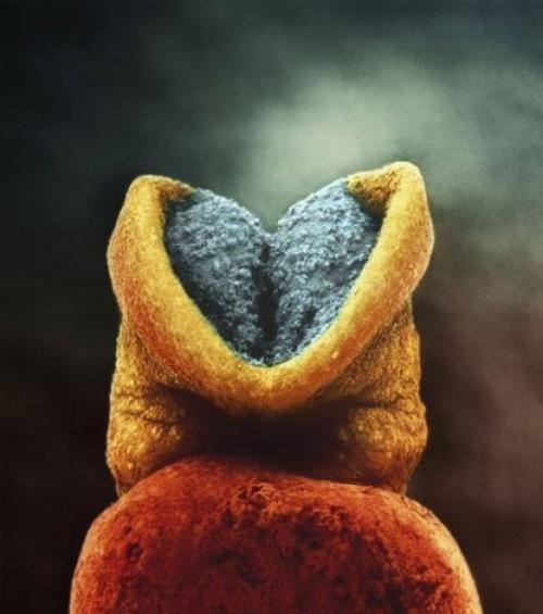 Развитие эмбриона. Серым цветом - будущий головной мозг +22 дня