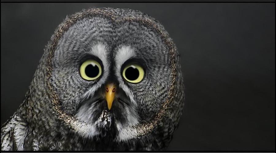 BirdOwlPatrickNotley