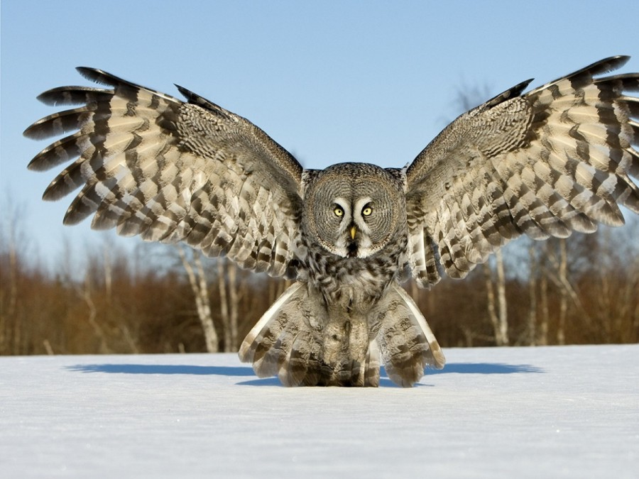 snow_wings_white_birds_grey_owls_flight
