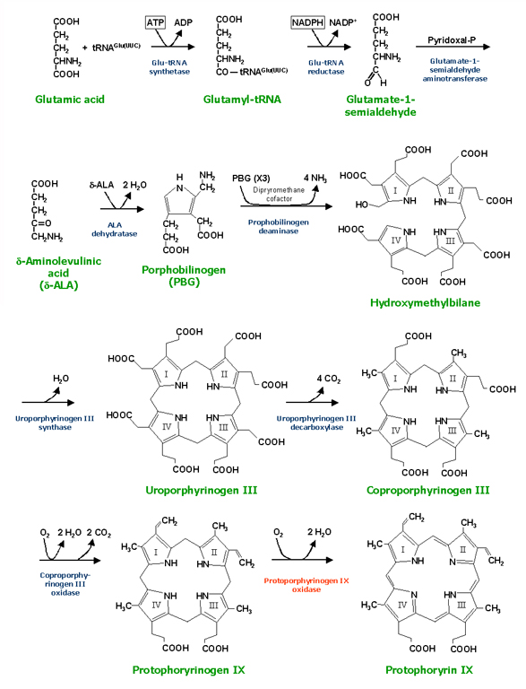 Protoporphyrinogen_synthesis