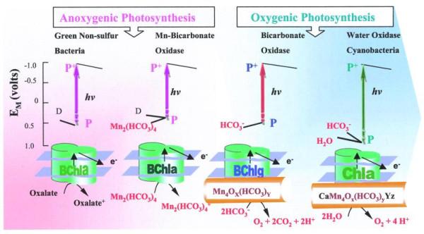 фотосинтеза (Dismukes et