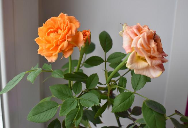 kitchen_roses
