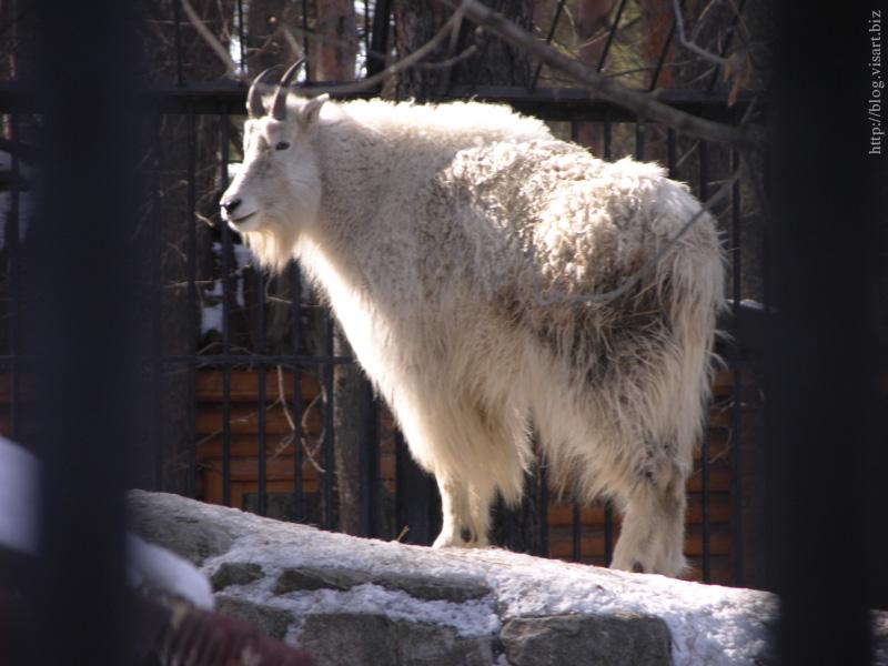 Зоопарк // Белый медвед