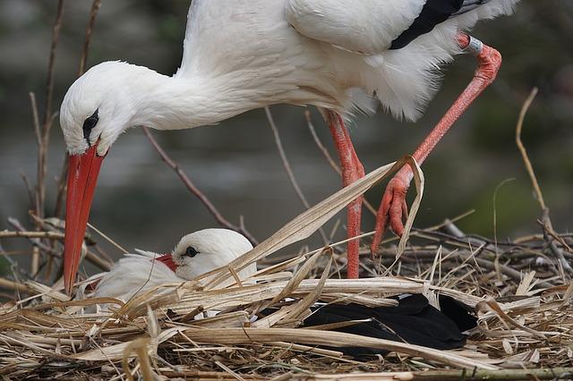 Посе развода птенцы остаются в гнезде, а родители заботятся о них по очереди.