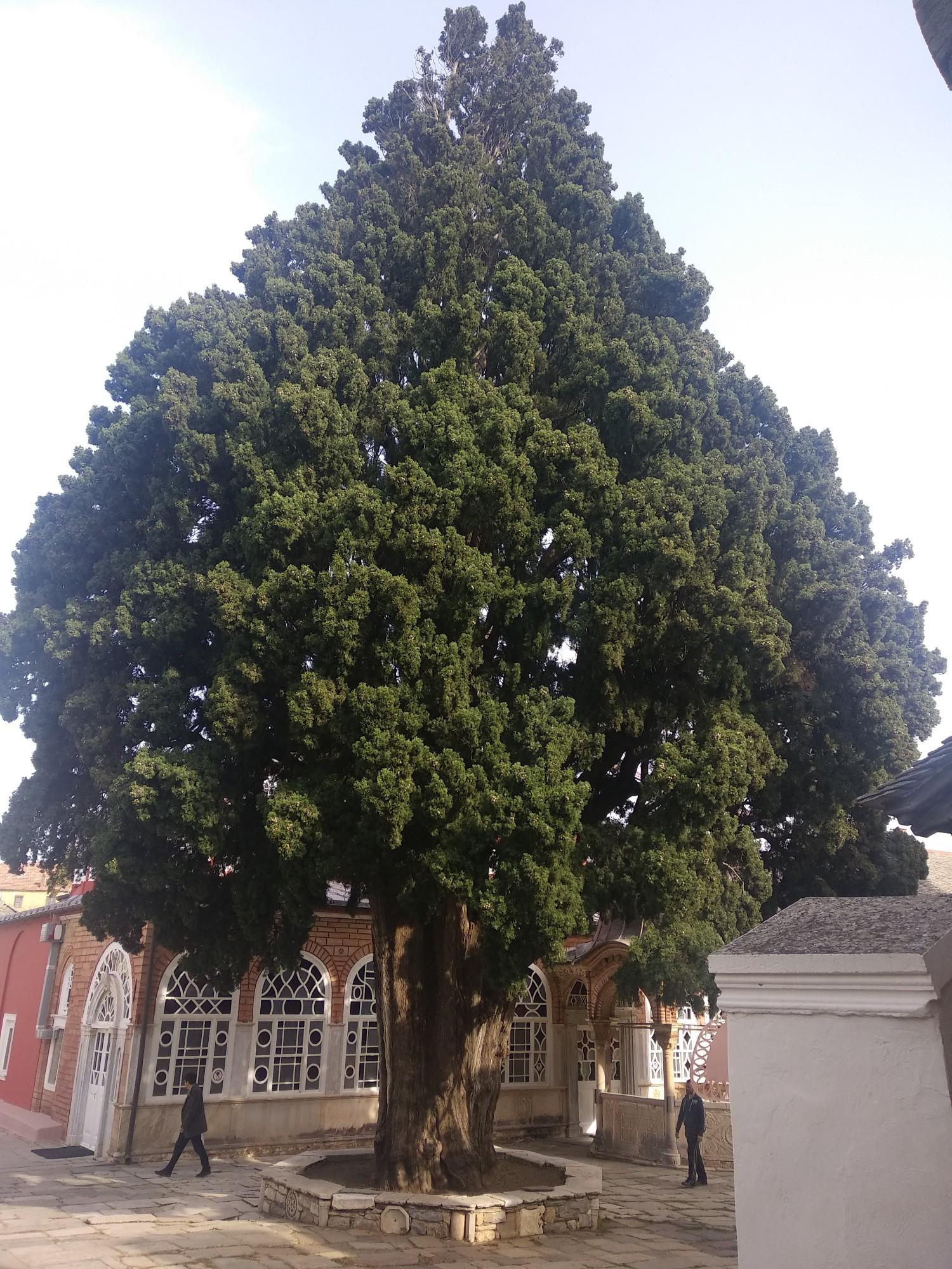 Великой красоты и возраста дерево