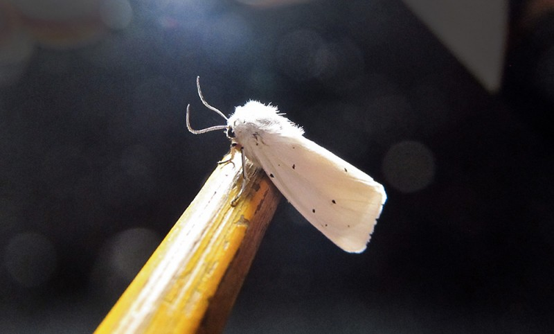 white_moth