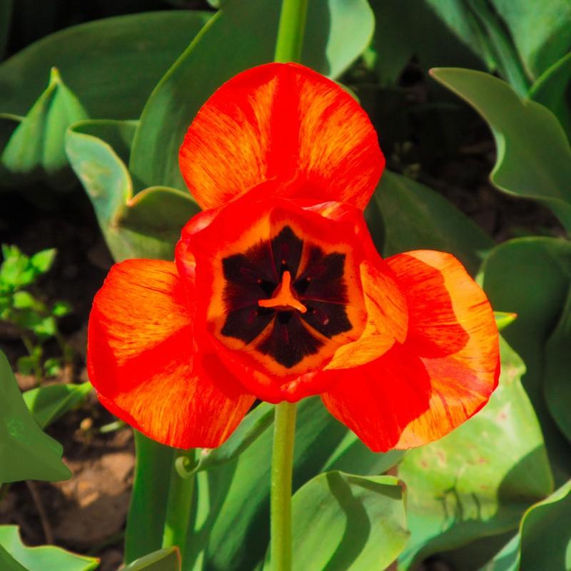 Парад тюльпанов