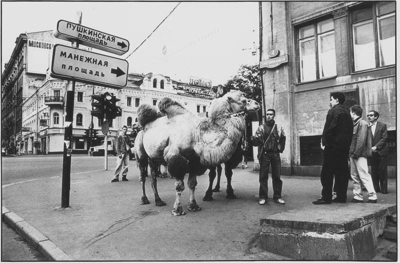 Московские верблюды
