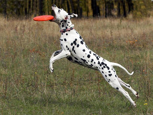 фото собак - далматинец