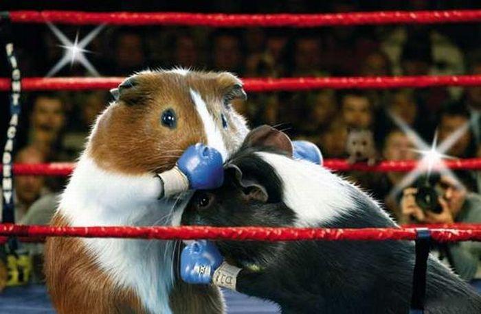guinea_pig_olympics_01