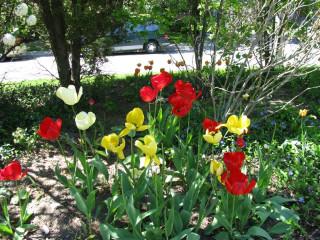 Ну очень большие тюльпаны
