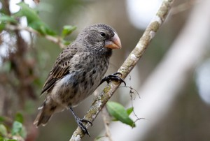Large Ground-Finch 0003