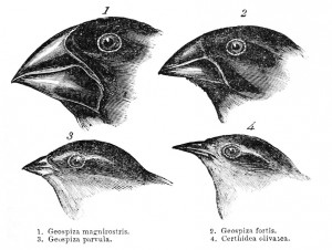 Darwin's_finches_by_Gould (вьюрки)