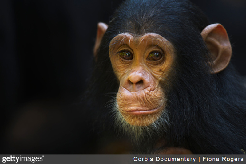 chimpanzee_infant