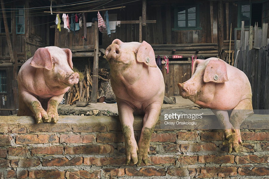 О возмутительном случае оскорбления чувств верующих Pigs