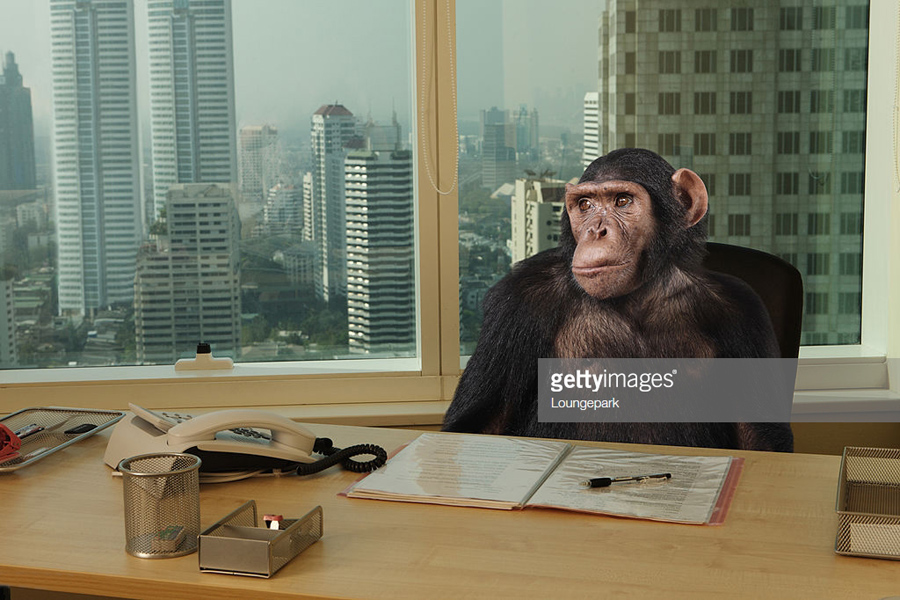 chimp at desk