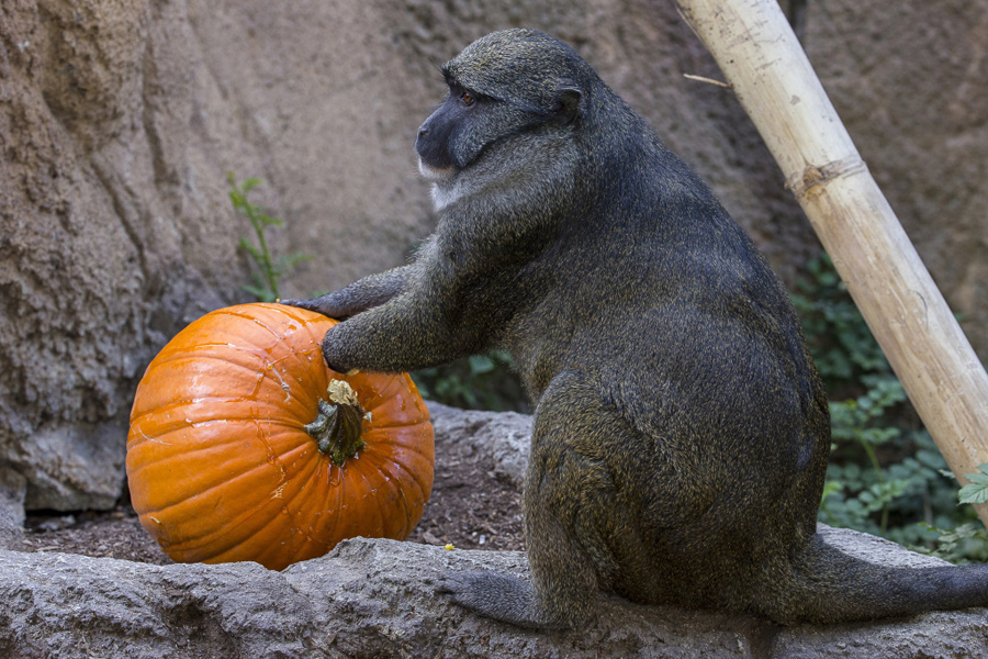 Pumpkin-Monkey