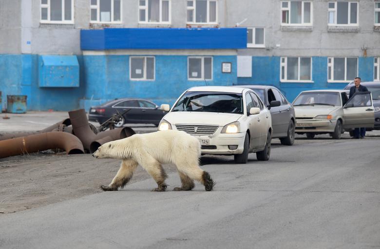 Norilsk-bear